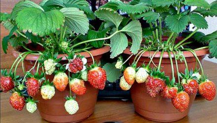 Выращивание клубники дома круглый год