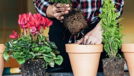 Можно ли и как правильно пересаживать комнатные цветы зимой