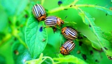Простой проверенный способ навсегда избавиться от колорадского жука