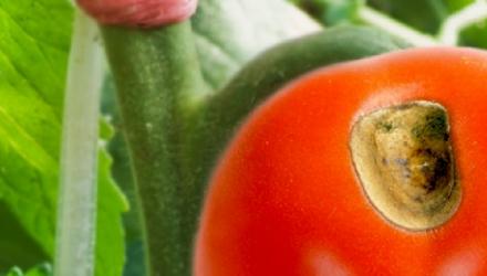 Про болезни томатов и способы лечения