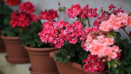 Как обрезать герань для пышного цветения на зиму